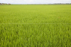 the paddy fields (azahar photography) Tags: paddy malaysia field agriculture rice asia landscape nature green sky food harvest asian blue plant countryside rural background beautiful plantation grass outdoor tropical farming natural water yellow farmland crop agricultural growth morning season summer sunrise golden meadow light scenery grow grain environment tourism country organic travel sunset