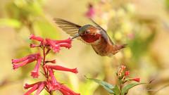 Praising Nature - Allen's Hummingbird (Bob Gunderson) Tags: allenshummingbird birds botanicalgardens california goldengatepark hummingbirds northerncalifornia sanfrancisco selasphorussasin