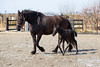 Learning the ways (René Maly) Tags: renémaly horse foal paard veulen fries frisian arabofries arabofriesian