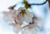 Peace and Calm (moaan) Tags: ashiya hyogo japan jp sakura cherryblossom blossoming inblossom macro macrophotography dof depthoffield petals closeup bokeh bokehphotography canon canonphotography canoneos5dsr zeissmakroplanart2100ze 100mm f20 utata 2018