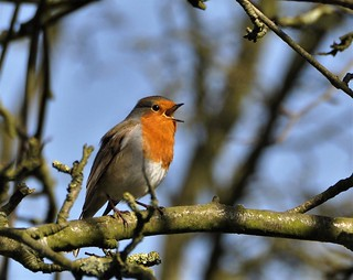 Singing in the tree