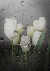 Behind the window (alejandrabassoph) Tags: tulips beautyinnature closeup day drop flower flowerhead fragility freshness growth nature nopeople outdoors petal plant purity rain raindrop water weatherwet
