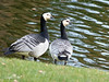 Brandganzen (Cajaflez) Tags: brandganzen ganzen geese barnaclegeese bernacle weiszwangenganse zwemvogel vogel ngc npc coth5