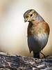 Peppola (fausto.deseri) Tags: brambling fringillamontifringilla peppola parcodellapiana wildlife nature birds wildanimals sestofiorentino nikond7100 nikkor300mmf28afsii nikontc20eii
