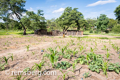 Young corn crop sprouting through the earth in a village in Livingstone, Zambia (Remsberg Photos) Tags: zambia africa corn crop growth grain soil earth maize food cerealgrain sprout staplefood leafy green mielie southafrica livingstone hut village