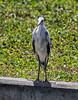 05-03-18-0015907 (Lake Worth) Tags: animal animals bird birds birdwatcher everglades southflorida feathers florida nature outdoor outdoors waterbirds wetlands wildlife wings