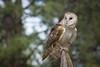 Tyto alba (Jon David Nelson) Tags: barnowl tytoalba raptors birdsofprey wildlife centraloregon conservation education