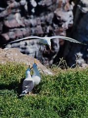 raid aérien (Patrick Doreau) Tags: goéland argenté marin capfréhel vol rocher nikon d500