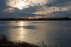Sandhill_Cranes-22 (Beverly Houwing) Tags: nebraska sandhillcranes plattriver migration spring birds conservation cranetrust sanctuary protected flying sihouette clouds sky sunset unitedstates midwest