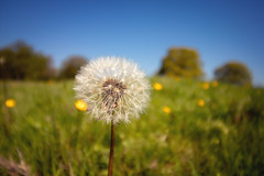 A moment in time 2 (Chris D Page) Tags: blue countryside colours dandelion england explore flowers flower grass kent light nature nationaltrust seeds uk wildlife