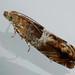 Epinotia tenerana - Nut bud moth - Листовёртка ольховая