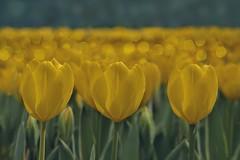 Tulipanes / Tulips (Tulipa gesneriana) (eme emepe) Tags: yellow amarillo bokeh tulipanes tulipagesneriana tulips