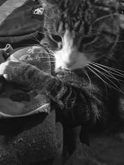 Cat Paw (Bracus Triticum) Tags: cat paw animal calgary カルガリー アルバータ州 alberta canada カナダ 11月 十一月 霜月 jūichigatsu shimotsuki frostmonth autumn fall 平成29年 2017 november