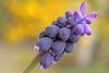 Muscari neglectum (ab.130722jvkz) Tags: asparagaceae muscari 2018botany botany wildflowers