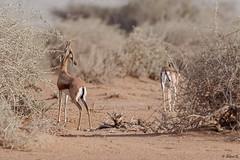 Gazella dorcas (Dave 5533) Tags: gazelladorcas gazella desert animal mammal tree wild nature wildlifeinisrael wildlifephotography wildlife naturephotography outdoor canoneos1dx canonef300mmf28 animalplanet ngc npc