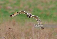 Short-Eared Owl (Gary Chalker, Thanks for over 3,000,000. views) Tags: shortearedowl owl bird birdofprey pentax pentaxk3ii k3ii fa600mmf4edif fa600mm 600mm pentaxfa600mmf4edif
