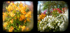 Azaleas (2) and (3) TtV (Neal3K) Tags: ttv throughtheviewfinder browniereflex azaleas georgia henrycountyga