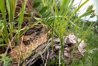 Northern Pacific Rattlesnake (Crotalus oreganus) Insitu