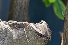 (sgtsalamander) Tags: nikon d800 oahu brownanole anolissagrei waimea invasive lizard sigma 105