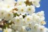 white blossom wonder (photos4dreams) Tags: gersprenz münster hessen germany naturschutz nabu naturschutzgebiet photos4dreams p4d photos4dreamz nature river bach flus natur pur baumblüte blossom blossoms blüten blüte