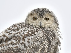 Bad feather day (cseager40) Tags: wet snowy owl female ontario wild rain feathers