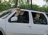 dog drive (BarryFackler) Tags: dogs pets animals companions shibainu spitz purebreddogs vehicle suv sportutilityvehicle driving hoyo outdoor honaunau southkona hawaii polynesia hawaiiisland hawaiicounty bigisland windows sandwichislands tropical hawaiianislands life kona westhawaii domesticanimals 2018 barryfackler barronfackler