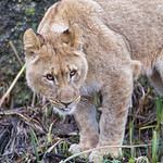 Young lioness in difficult terrain thumbnail