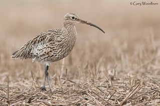 Eurasian Curlew - High Newton by the Sea, Northumberland