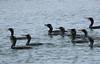 F_042218g (Eric C. Reuter) Tags: birds birding nature wildlife nj forsythe refuge nwr oceanville brigantine april 2018 042218