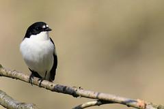 Pied Flycatcher (Edwyn Anderton) Tags: piedflycatcher flycatcher malepiedflycatcher peakdistrict padleygorge padley longshaw longshawestate