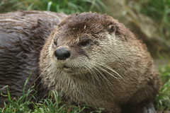 North American River Otter (charliejb) Tags: northamericanriverotter otter mammal fur furry furred 2018 bristolzoo bristol wildlife carnivore
