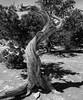 Passed On (arbyreed) Tags: arbyreed monochrome bw blackandwhite west junipertree stump deadjunipertree cedar islandinthesky canyonlands waynecountyutah