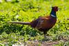 IMG_5902-2.jpg (Leo Kramp) Tags: weegje vogels gitzogt3542ltripod wandelen fazant dieren natuurfotografie 2018 benrogimbalheadgh2 flickr accessoires
