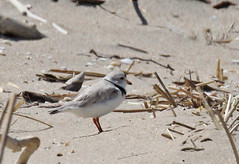 Piping Plover at Sandy Hook (Tombo Pixels) Tags: earthday sandyhook180623 pipingplover bird nj newjersey twb1 audubonwalk