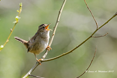042218 MarshWrenSpringSong 4x (wildcatlou) Tags: spring april nature wildlife birds bird songbird outdoors nisquallynationalwildliferefuge wren marshwren