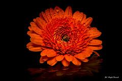 Orange gerbera (Magda Banach) Tags: canon canon80d sigma150mmf28apomacrodghsm blackbackground flora flower gerbera macro nature orange plants