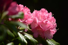 rhododendrons, yard (David A's Photos) Tags: rhododendrons yard lents multnomah county portland oregon april 2018 garden flowers plants