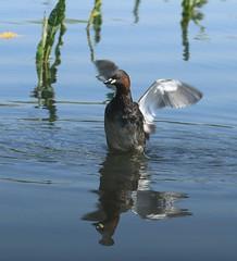 grèbe castagneux (tineandthecats@gmail.com) Tags: grèbe castagneux oiseaux eau