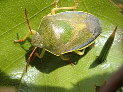 Piezodorus lituratus (lloyd177) Tags: bug dorset deadmoor common