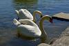 """4399 """"Weisser Schwan"""" """"White Swan"""" (Fotomouse) Tags: fotomouse margrit tiere tier vögel bird natur nature weisserschwan whiteswan weiher park wasser water vogel"""