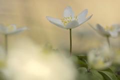 Buschwindröschen (rolandwittenberg) Tags: buschwindröschen blüte frühlingsblüte