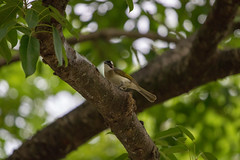 IMG_1943 (隆賢) Tags: canon eos 77d tamron sp 150600mm f563 di vc usd a011 bird
