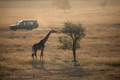 Balooning over hazy Serengeti, First Rays of Sun, Tanzania (Catherine Gidzinska and Simon Gidzinski) Tags: 2017 africa ballooning ballooninginserengeti mararegion serengeti serengetiballoonsafaris tanzania animal car flats giraffe tree 7dwf