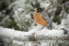 American Robin (sunnyf16) Tags: bird lakecountyforestpreserves lakecountyil robertvisconti sunnyf16 nikonprime naturephotography spring americanrobin snowstorm