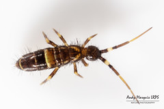 Orchesella cincta (AndyMarquis105) Tags: insect springtail collembola
