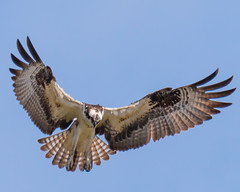 Fishing Machine... (ragtops2000) Tags: osprey fishing migrating exciting holdingpattern frozen sky stare intense effecient catch wings stopped noise fun blue spring machine mean lean quick drop raptor feathers tail