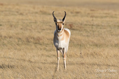 April 25, 2018 - A handsome Pronghorn buck in northern Colorado. (Tony's Takes)
