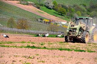 Le tracteur et les cigognes  -  The tractor and the storks