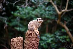 Guard Duty (D. R. Hill Photography) Tags: meerkat animal wildlife guardduty guard perth perthzoo zoo westernaustralia australia travel bokeh depthoffield nikon nikond750 d750 nikon80200f28 80200mm