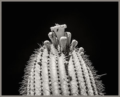 AZ-SO Desert Museum IR #2 2018; Saguaro Blossoms (hamsiksa) Tags: blackwhite infrared digitalinfrared infraredphotography arizona tucson plants flora desertplants sonorandesert xerophytes succulents cacti cactus saguaro saguarocactus cactaceae carnegieagigantea botany botanicals flowers blossoms blooms
